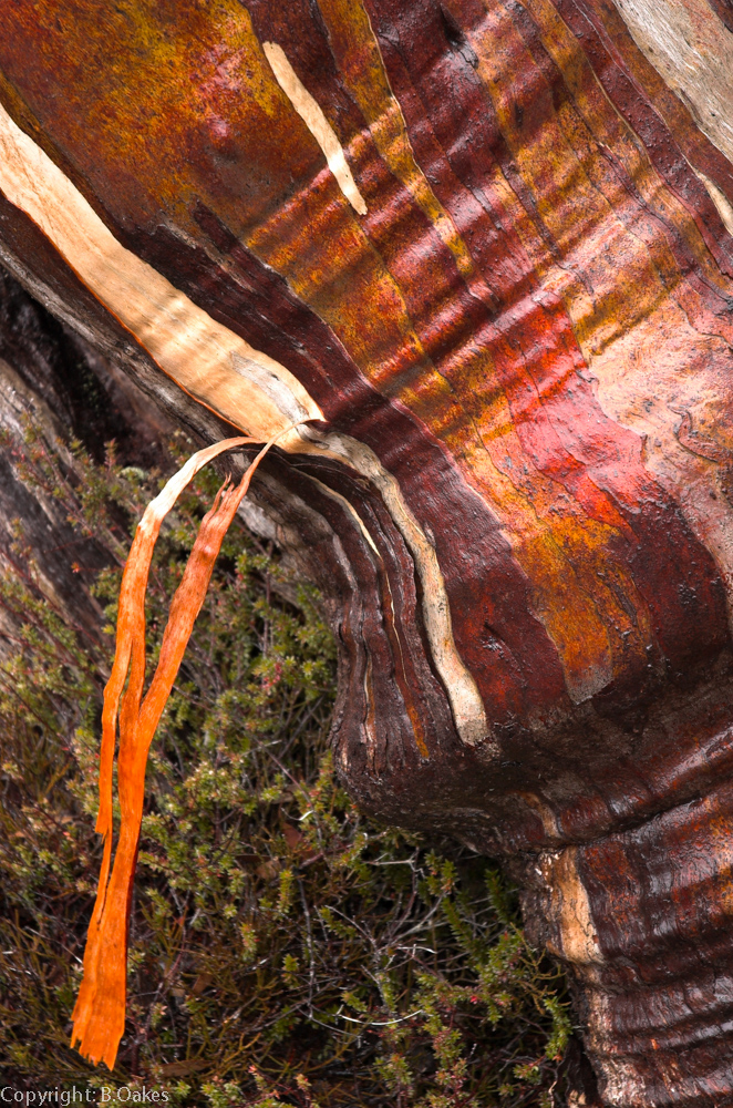 image of Colorful snow gum bark afrer a rainfall
