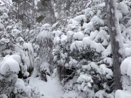 Pandanus cloaked in snow on the track up to the Mt Mawson Ski Field